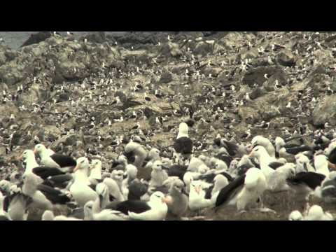 World's Largest Black-Browed Albatross Colony