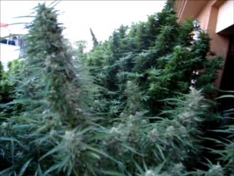 Plantas gigantes de marihuana youtube for Plantas marihuana interior
