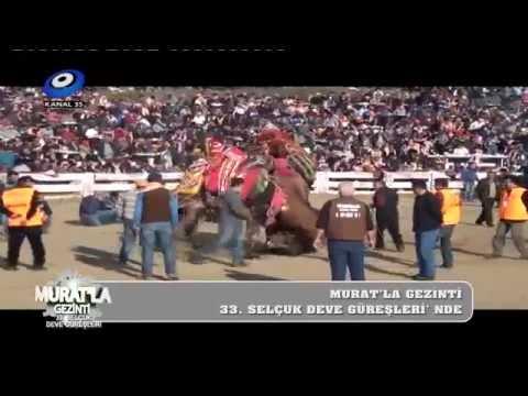 33. Selçuk Efes Deve Güreşleri Kanal 35 Ekranlarında...