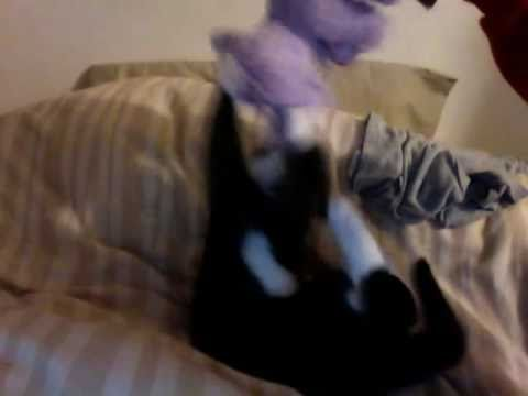 cute kitten oreo playing with toy