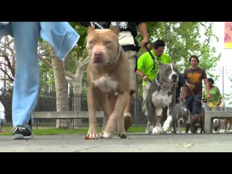 Become a better pit bull owner in less than 4 minutes