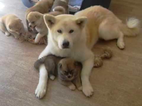Akita Inu: /Kitsunes puppies 33 days old with their grandma! (15/08/2009 O Chanur Kennel)