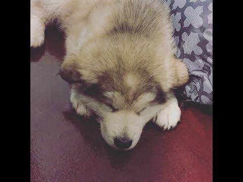 【高萌預警】阿拉斯加雪橇犬吃檸檬+聽狗叫聲挑戰 | 求撲