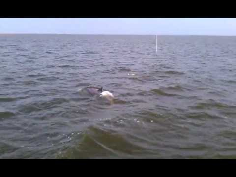 pod of dolphins in hopedale louisiana