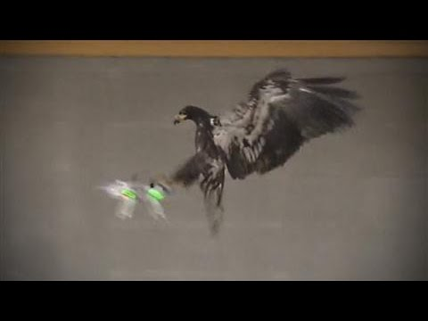 Using Birds of Prey to Take Down Drones
