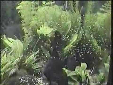 alevines de peces escalar recien nacidos