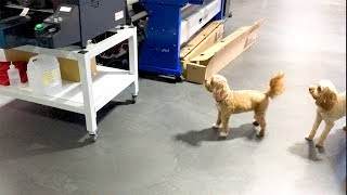 Dogs vs a DTG printer: International Bring Your Dog to Work Day