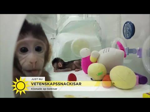 """Här är de första klonade ap-bebisarna – """"Många etiska problem kring att klona människor"""" -"""