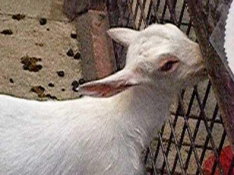 シバヤギの生後1ヶ月の赤ちゃん-03(茶臼山動物園)
