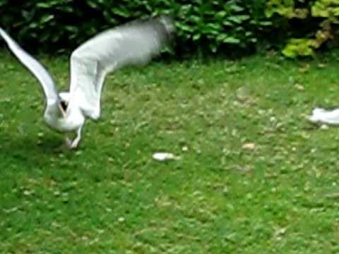 Herring Gull Seagull Steals
