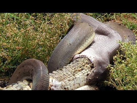 SNAKE EATS CROCODILE IN AUSTRALIA - Python devours crocodile in 15 minutes!