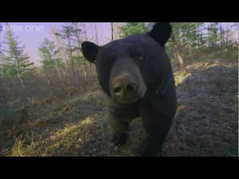 Bear scent master class - Planet Earth Live - BBC One