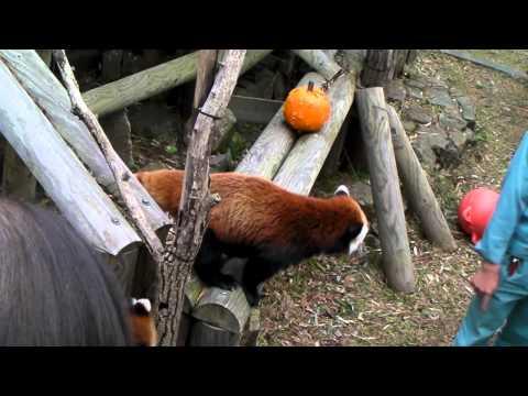 レッサーパンダっ仔 リリィのリンゴジャンプ♪