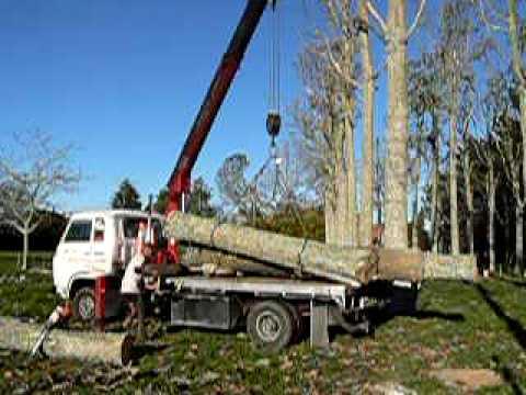 Harvesting Paulownia logs