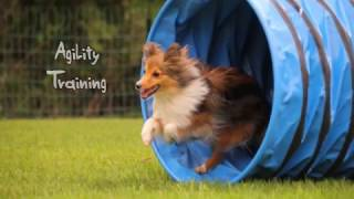 Sheltie Agility Training 16.04.2017