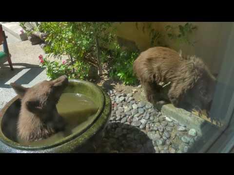 熊も暑さに弱い?庭を見ると水浴びしている2匹のクマが!?