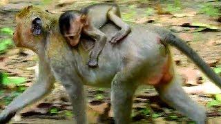 Poor tiny baby Brutus JR still follow mom, Jill well treat mom to her tiny baby