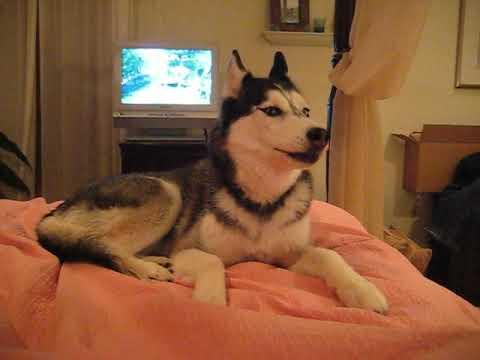 Husky Dog Talking -