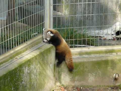 レッサーパンダの赤ちゃん おっことされる編