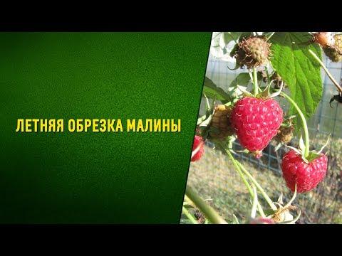 Летняя обрезка малины