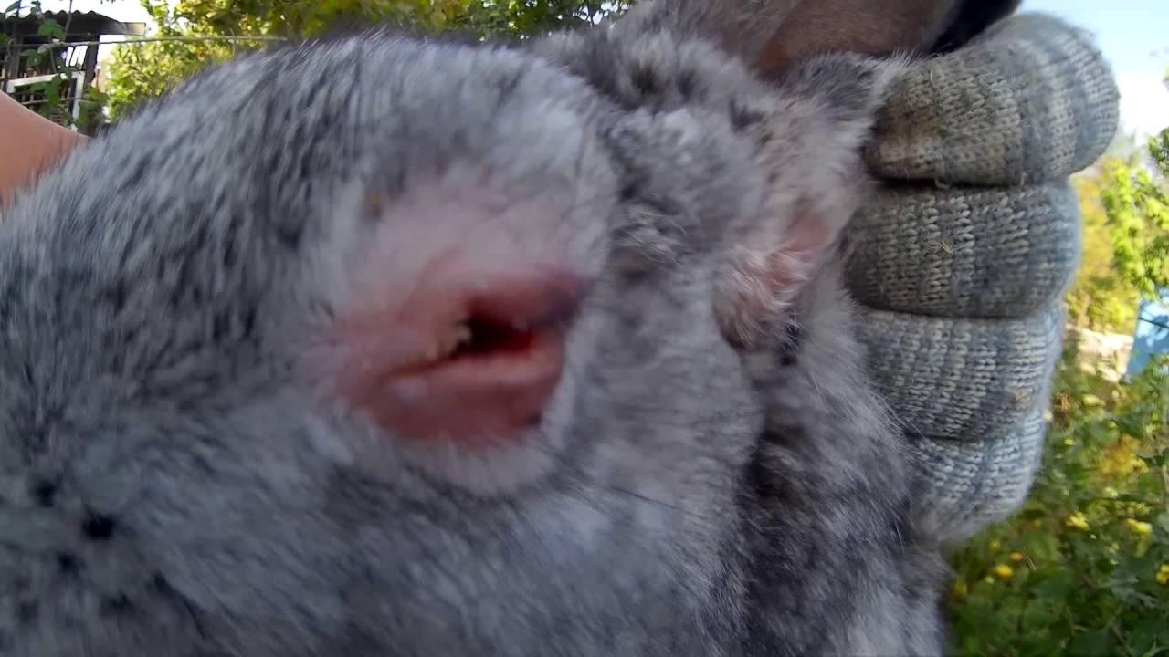 Лечение миксоматоза у кроликов в домашних условиях 438