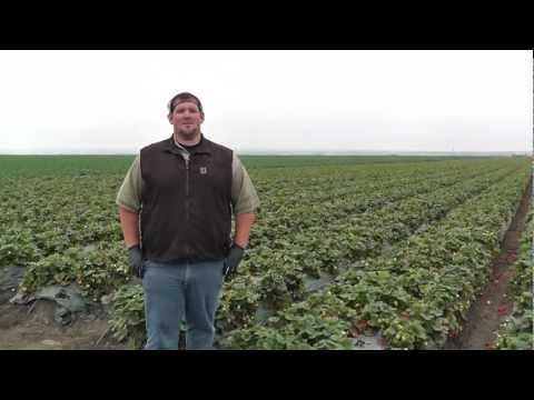 Markon Live from the Fields: Strawberries, September 25, 2012, Salinas, California