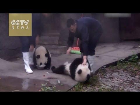 So cute! Naughty panda grabs food from its buddy!