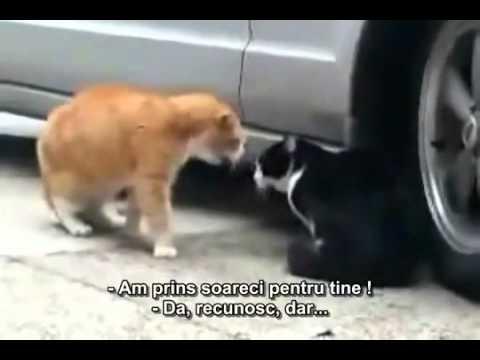 Cearta intre pisici = te pisi pe tine de ras - YouTube