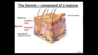 LECTURE: The Integumentary System