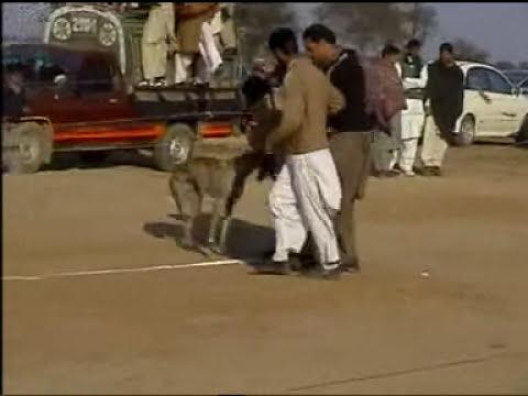 Rabbit Race Chakwal Parhal Pinwal2006