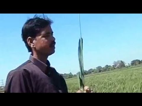 Bihar farmer sets world record in rice production