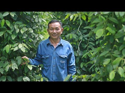 ภิรมณ์ แก้ววิเชียร กับการปลูกพริกไทย พืชที่คืนกำไรเร็ว