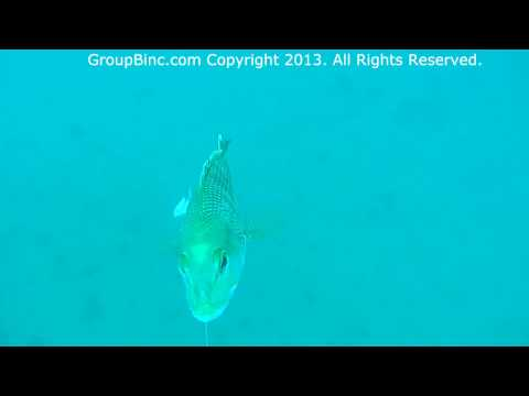 Black Seabass Frenzy Unbelievable Underwater Strikes