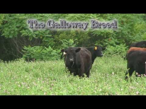 GrassFed Beef: Buy 100% Grassfed & Grass-Finished Beef From Galloway Cattle!