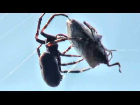 Spider Meal