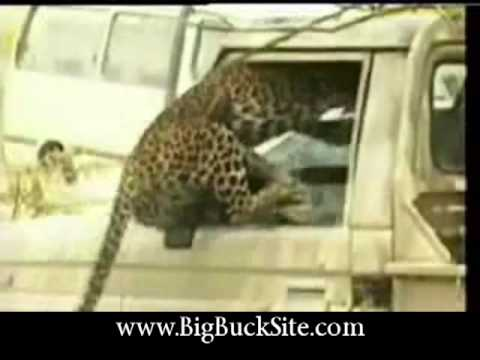 Re: Jaguar vs Anaconda - a deadly fight! on secrets-of-cats.com