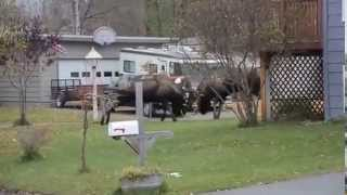 Bull moose fight each other in the middle of Alaskan street