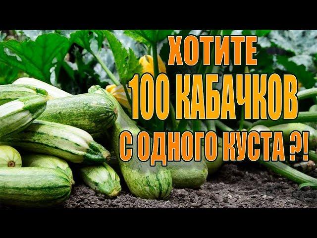 100 КАБАЧКОВ С ОДНОГО КУСТА ЕСЛИ СДЕЛАТЬ ЭТО!!!