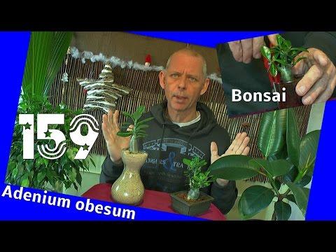 Bonsai Wüstenrose Adenium obesum zum Bonsai 2