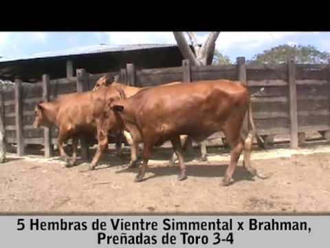5 HEMBRAS DE VIENTRE SIMMENTAL X BRAHMAN, PREÑADAS DE TORO 3-4
