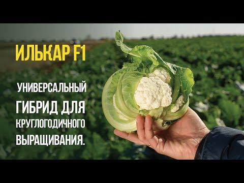 Ошибки при выращивании цветной капусты 93