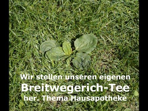 Breitwegerich - Kostbare Heilpflanze
