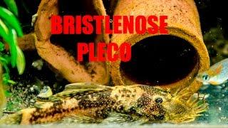Best Pleco for the Community Aquarium! Bristlenose/Ancistrus Pleco- Part 1