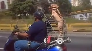 Funny Dogs Riding On Motorcycles Compilation