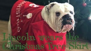 Lincoln wears the Christmas tree skirt | ENGLISH BULLDOG