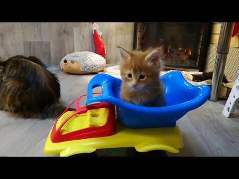 Питомник кошек породы мейн кун Lovitven