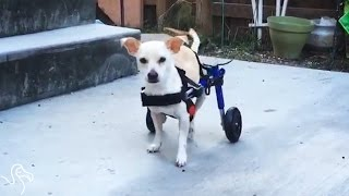 Dog On Wheels Refuses To Be Held Back