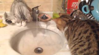 Cat drinking water from Faucet