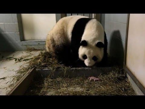 Nacen pandas gemelos