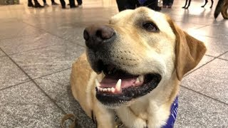 Companion dogs helping with airport stress